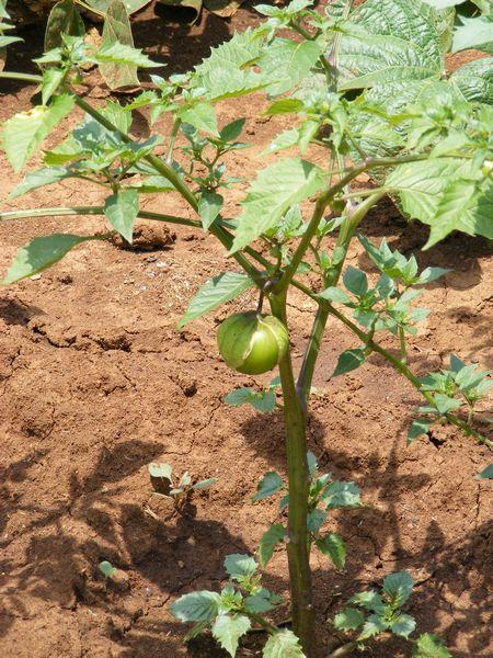 Tomatillo Mexican Strain Physalis Ixocarpa Species