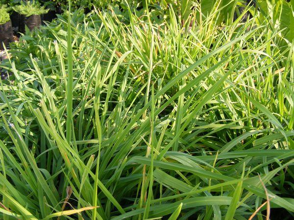 Cat Grass Seeds Australia