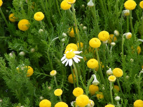 CHAMOMILE - ROMAN (Chamaemelum nobile)