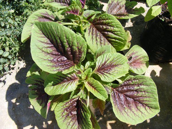 Amaranth Chinese Spinach Amaranthus Species