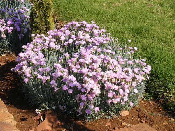 dianthus clove pink dianthus caryophyllus. Black Bedroom Furniture Sets. Home Design Ideas