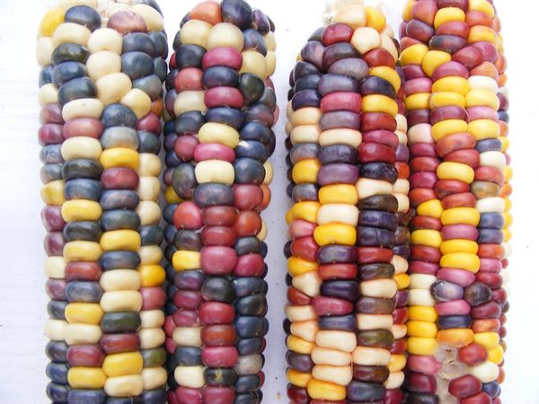 Painted Mountain Corn Uses
