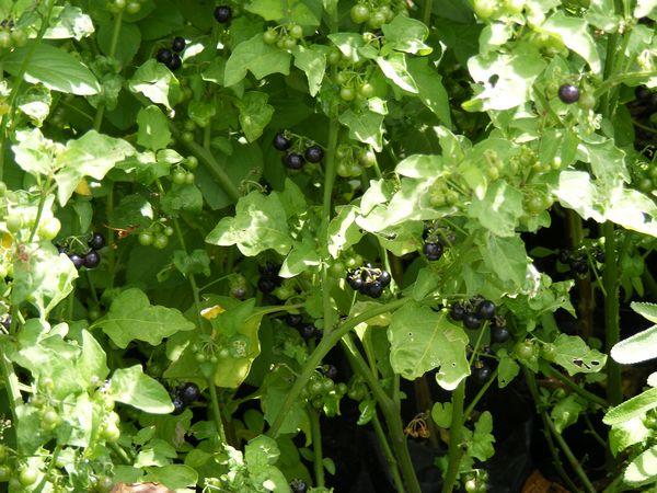 BERRY - HUCKLEBERRY (Solanum melanocerasum)