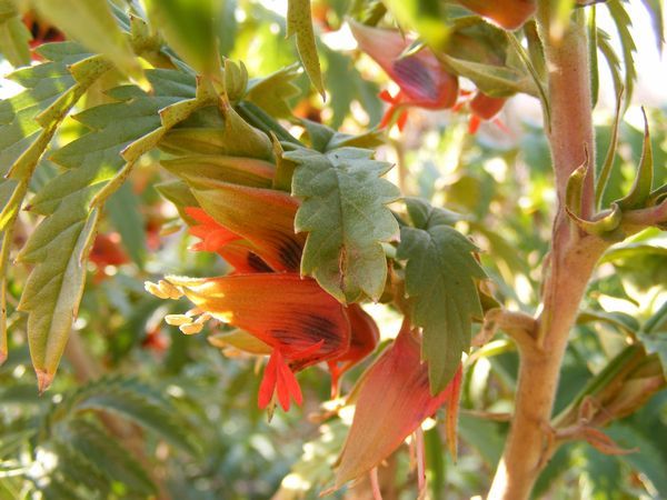 Honey Flower Melianthus Comosus