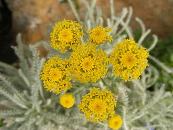 LAVENDER - COTTON (Santolina chamaecyparissus)