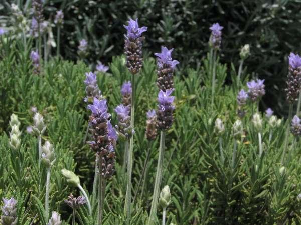 Lavender French Mixed Lavandula Dentata Species