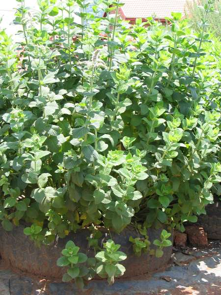 Mentha rotundifolia
