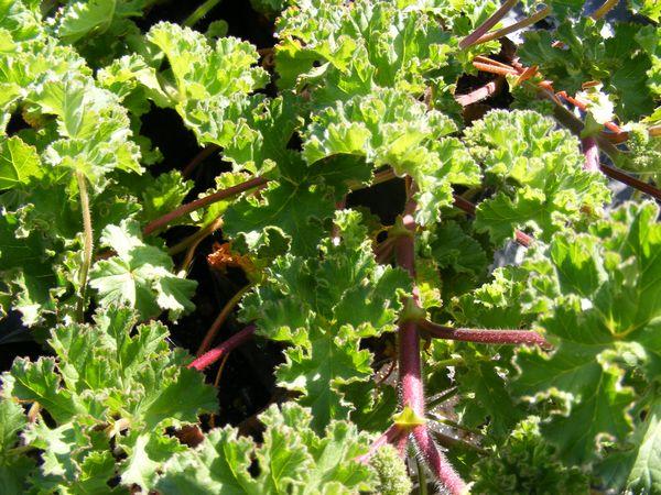 Geranium Wild Rose Scented Pelargonium Capitatum