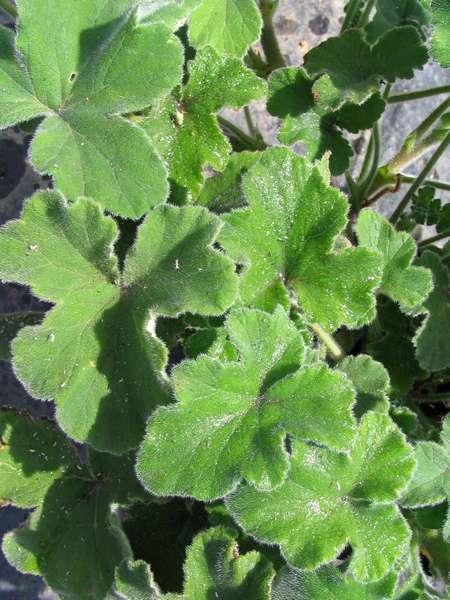 Geranium Peppermint Scented Pelargonium Tomentosum